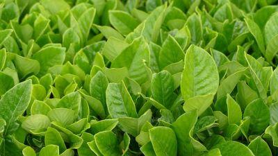 Explore England  Tea Plants showing leaves