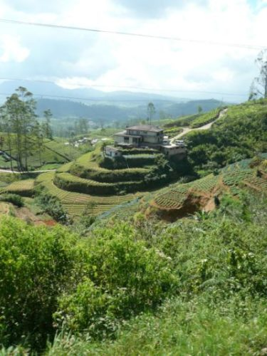 Explore England  Sri Lankan Tea Plantation